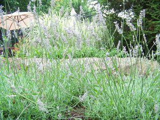 Lavender card 1